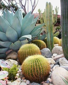 cactus plant Plants needs water. But drought-resistant varieties need only dainty sips once theyre established. There are several different varieties of plants are less water. Backyard Trees, Backyard Landscaping, Arizona Landscaping, Dry Garden, Garden Plants, Garden Water, Cactus House Plants, Cactus Cactus, Indoor Cactus