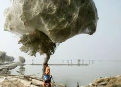 Aranhas subiram em árvores para escapar das inundações no Paquistão. Milhares delas fizeram teias ali mesmo.