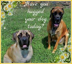 Have you hugged your dog today? #dog #mastiff #englishmastiff #gentlegiant #bigdog #mastiffhappy