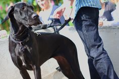 5 Tips to Prevent Your Great Dane from Pulling in a Leash