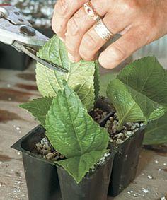 Hydrangea cutting How-to