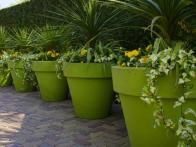 A  neat row of chartreuse pots  filled with  palms  and  ivy  adds zip to a neutral brick patio.