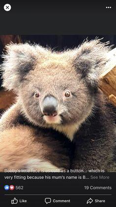 Cute Little Animals, Cute Funny Animals, Koala Bears, Corgis, Wildlife, Australia, Puppies, Board, Belle