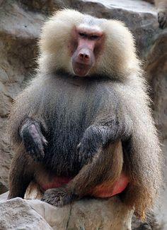 08 Hamadryas Baboon | Flickr - Photo Sharing!