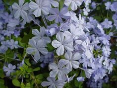 "Austin Native Landscaping: ""We try to use Plumbago in part shade situations because the plant is not as drought tolerant in full sun and seems to enjoy the occasional shade. Texas adapted Plumbago is a stellar pick for many landscapes. Its blue flowers will really pop out in the summer and will complement well other similar colored plantings. Plumbago is deciduous so shearing back after first frost is recommended."""