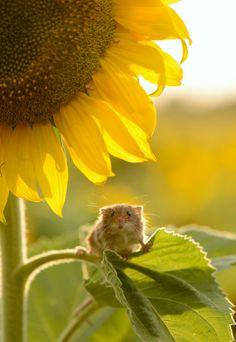 Harvest Mouse on sunflower