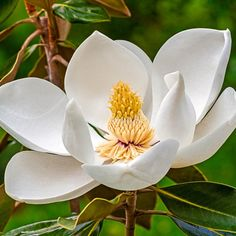 Provide an essential addition to any space in your home garden with this Spring Hill Nurseries White Flowers Sweetbay Magnolia Tree Live Bareroot Tree. Magnolia Tree Types, White Magnolia Tree, Evergreen Magnolia, Magnolia Trees, Magnolia Flower, Sweet Magnolia, Deciduous Trees, Flowering Trees, Flowers Nature