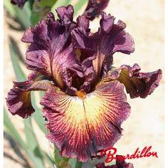 Iris : TANGLED BLED - bourdillon