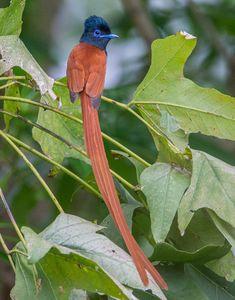 アフリカサンコウチョウ  African paradise flycatcher (Terpsiphone viridis) male