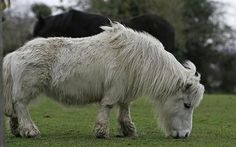 Pony with short legs costs taxpayer £8,000 in 'rescues' - Telegraph