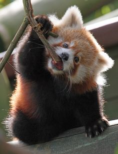 funkysafari: Young Red Panda by Buggers1962