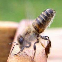 """This is """"fanning"""". They do this to signal to the other bees that their Queen is inside."""
