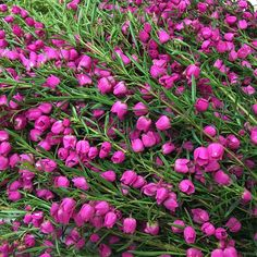 We wish phones had smell-o-vision. This boronia is amazing Learning To Love Yourself, Morning Flowers, Different Flowers, Cool Plants, Flower Pictures, Handmade Soaps, Native Plants, Shrubs, Pink Flowers
