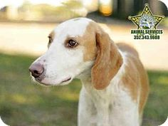 12/23 RIP, Ernie. I'm sorry you aren't going to be spending Christmas surrounded with love. 12/21 URGENT! 12/14 Save Ernie! Treeing Walker Coonhound for adoption in Tavares, Florida - This is a SNOW BIRD AREA, so these great pets have a slim chance at being adopted. Spread the word to rescue groups who can transport these loving animals to other places where their chance at being adopted is better!!!