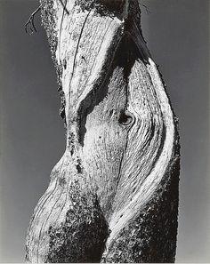 Edward Weston – Pine, Lake Tenaya, Yosemite National Park, 1937