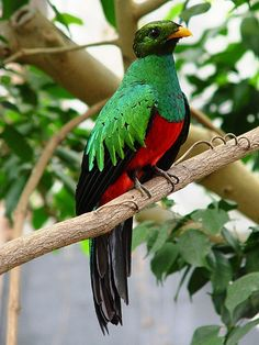 Golden-headed quetzal - (Pharomachrus auriceps). Found from Panama to Colombia, Bolivia and Peru, various forested areas.