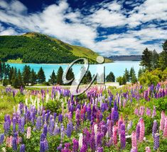 Landscape with lake and flowers, New Zealand Royalty Free Images, New Zealand, Stock Photos, Mountains, Landscape, Nature, Flowers, Travel, Naturaleza