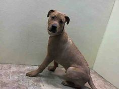 ★❥★ SAFE - 03/22/15 by Rebound ★❥★  Hounds Brooklyn Center  MADISON - A1030116   MALE, TAN / WHITE, PIT BULL, 9 mos STRAY - STRAY WAIT, NO HOLD Reason STRAY  Intake condition UNSPECIFIE Intake Date 03/12/2015, https://www.facebook.com/Urgentdeathrowdogs/photos/pb.152876678058553.-2207520000.1426365370./976138849065661/?type=3&theater