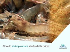At affordable cost get all shrimp products for the best aquaculture productions.  www.aquall.in ‪#‎aquall‬ ‪#‎shrimpseed‬ ‪#‎aquaculture‬