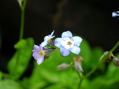 Forget-me-nots - My garden (July 2016)