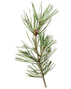 Christmas Tree Glossary - Scotch Pine
