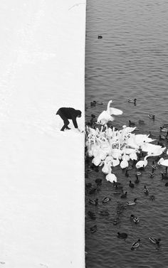 Man feeding swans, a surreal study in #contrast by Marcin Ryczek, who happened to be in the right place at the right time. Click through to view the entire image.