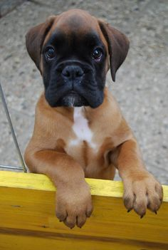 adorable #Boxer puppy                                                                                                                                                                                 More