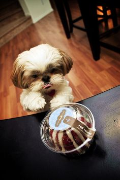 Shih Tzu wants cake!