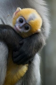 Baby Dusky Langur