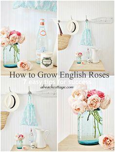 How to Grow English Roses in Australia, a hot climate or anywhere - Beach Decor Blog, Coastal Blog, Coastal Decorating