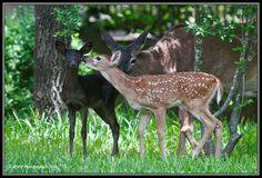 A black deer - unbelievably gorgeous!     Pictures taken by RJ Verge near Beamsville, Ontario, Canada     Black deer are more rare than albinos.
