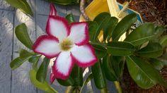 Desert rose plant flower