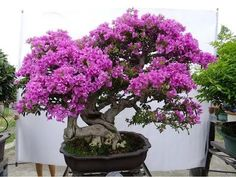 bougainvillea bonsai | bougainvillea bonsai repotting - YouTube #bonsaitrees