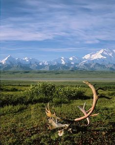 Caribou antlers on the tundra and a view of the Alaska Range in background, Denali National Park, Alaska