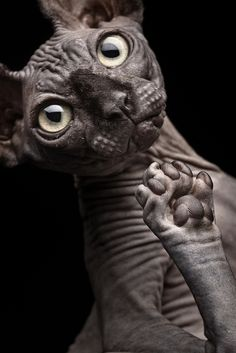 """it's a sphinx cat."" ""yes, but WHY is it INSIDE-OUT?!?!"""