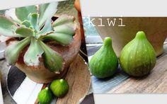 feigen-früchte aus meinem garten mygreenhaven.blogspot.com