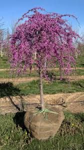Cercis canadensis Redbud lavender twist easy to keep pruned where it gets wider than you'd want Super beautiful tree for option at front entry space Stays small and is stunning in al seasons Sky Garden, Garden Shrubs, Garden Trees, Lawn And Garden, Trees To Plant, Small Shrubs, Small Trees, Landscaping Trees, Front Yard Landscaping