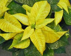 Golden Poinsettia.  Fotografia de Nancy Chow.