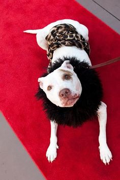 Petie entered the shelter deaf, heartworm positive, emaciated and destined for the PTS list :(    Now she attends some of the most posh doggie events in Charleston South Carolina where she serves as spokesdog for the promotion of low- and no-cost community Spay / Neuter Programs.