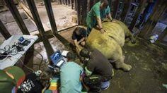 UK rhino eggs could save last northern whites  BBC News