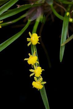Sigmatostalix graminea | Flickr - Photo Sharing!
