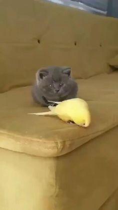 Funny Cute Cats, Cute Baby Cats, Cute Little Animals, Cute Funny Animals, Kittens Cutest, Cute Dogs, Perro Pomsky, Gato Gif, Cute Animal Videos