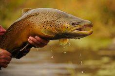 Magnificent German Brown Trout