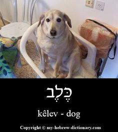 "A dog is considered to be ""kol lev"" -- all heart, hence the word for dog in Hebrew.  Click here to hear it pronounced: http://my-hebrew-dictionary.com/dog.php"