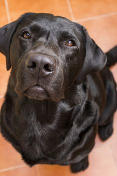 Portrait Of A Black Labrador Looking At The Camera View From Above Love For Animals Concept Labradorretriever Labrador Retriever Labrador Black Labrador