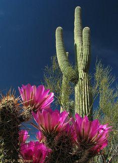 Luv cactus in bloom in the Arizona desert!