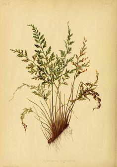 Asplenium montanum.