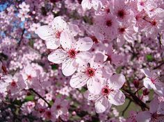 Tree Blossoms Pink Spring Flowering Trees Baslee Troutman Greeting Card by Baslee Troutman Fine Art Prints