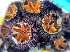 Freshly caught sea urchins. #blueoliveoil #evoo #greece #myconos photo by @locccations www.blueoliveoil.com