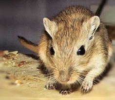 Annie. Female gerbil
